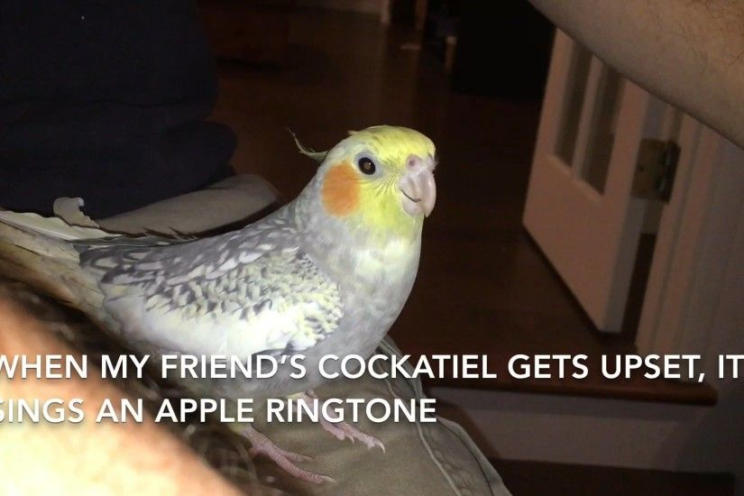 What To Do When Cockatiels Fight Petcha