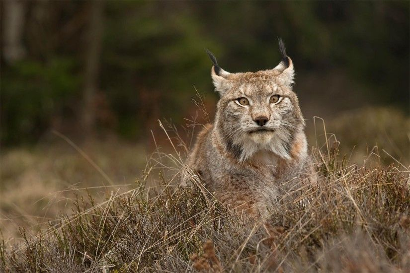 ... Lynx wild cat predator cub wallpaper | 2400x1220 | 892787 . ...