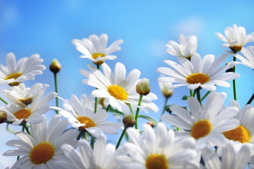 Lovely Daisy Flowers Wallpapers Free Download