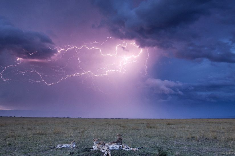 HD Leopards and lightning storm wallpaper