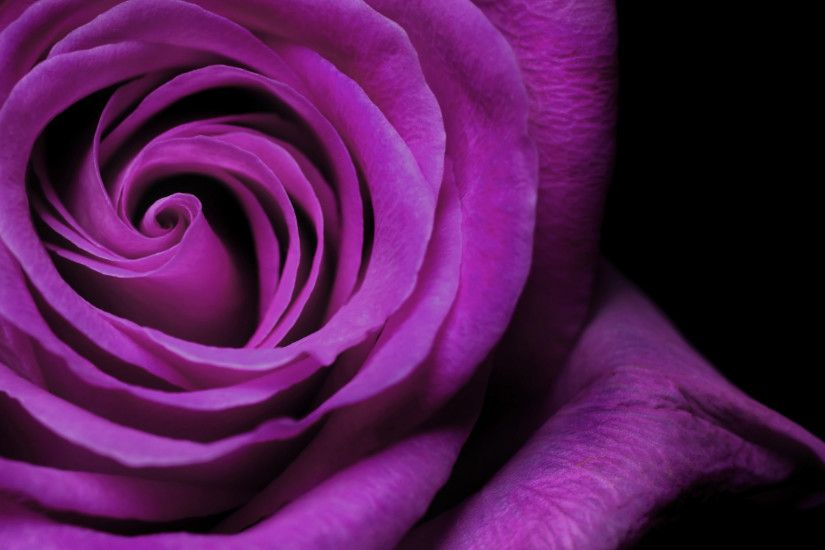 Purple Roses Wallpaper Wide Wallpaper