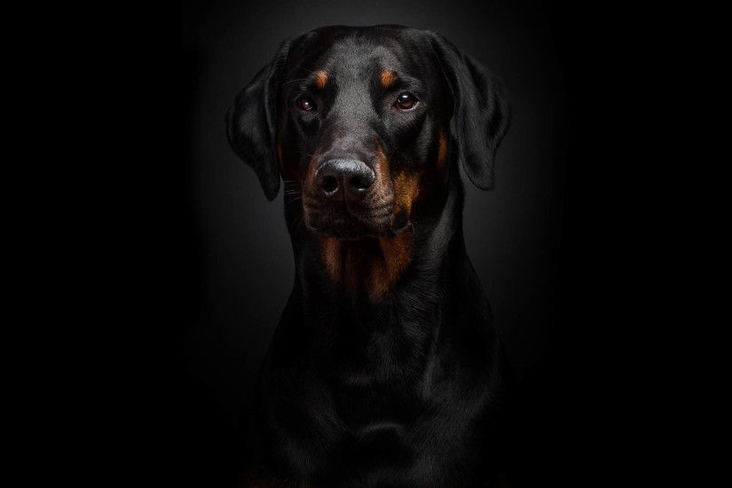 High Definiton Wallpapers in the Birds & Animals named as Rottweiler  Awesome HD Wallpapers ,Backgrounds In High Resolution are listed above.