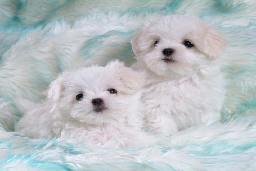 Cute White Puppies 543552