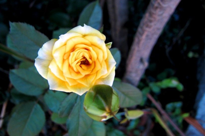 Pretty yellow rose wallpaper