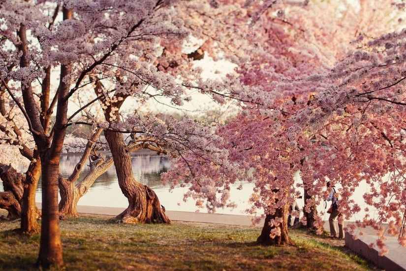 Cherry Blossom Tree Desktop Wallpaper - , New Wallpapers, New .