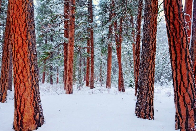 Redwood Tag - Redwoods Winter Fantastic Redwood Forest Bark Earth Wallpapers  for HD 16:9