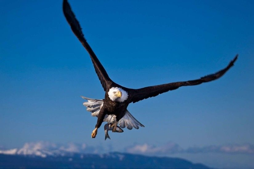 Bald Eagle Wallpapers - HD Wallpapers Inn