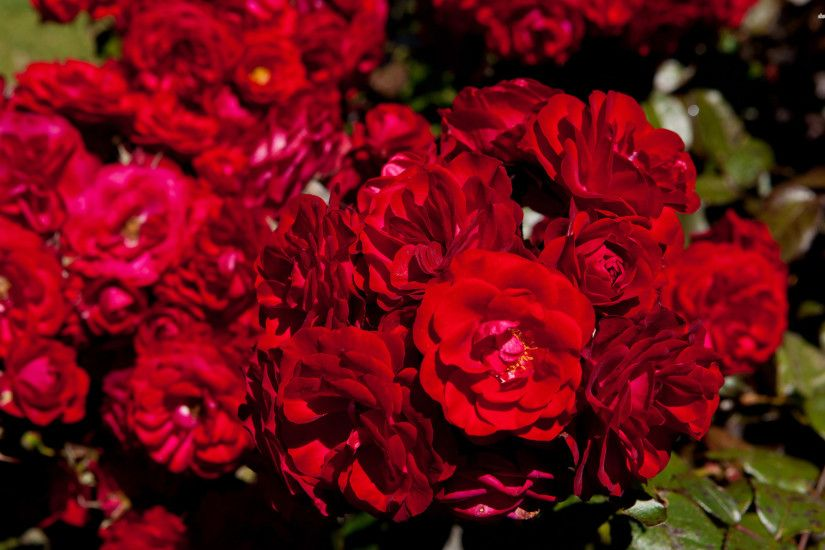 RED ROSES WALLPAPER. Download