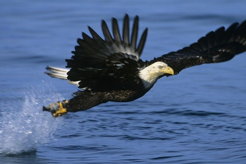 Eagles Wallpaper 1920x1080 Alaska, Eagles, Fishing, Bald, Eagles