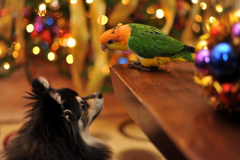 hd pics photos beautiful dog parrot christmas celebration with pet animals  hd quality desktop background wallpaper