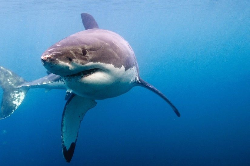Great White Shark #21