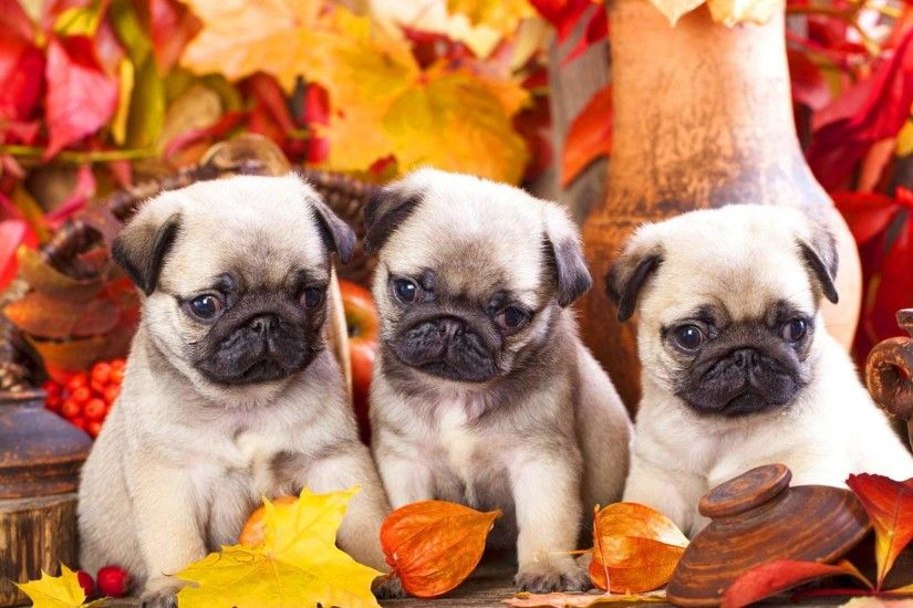 pug puppies wallpaper #35910