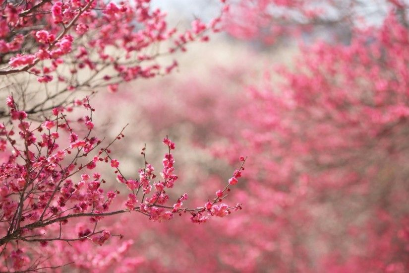 Spring in pink desktop PC and Mac wallpaper