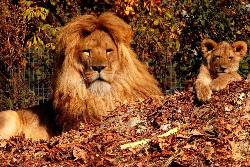 1920x1080 Wallpaper trees, autumn, son, lion, lion cub, zoo