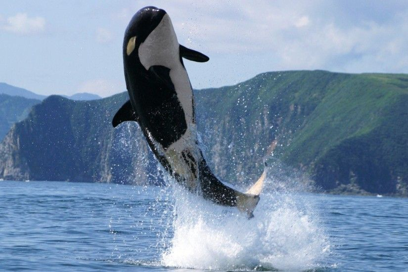 Image of Orca Killer Whale