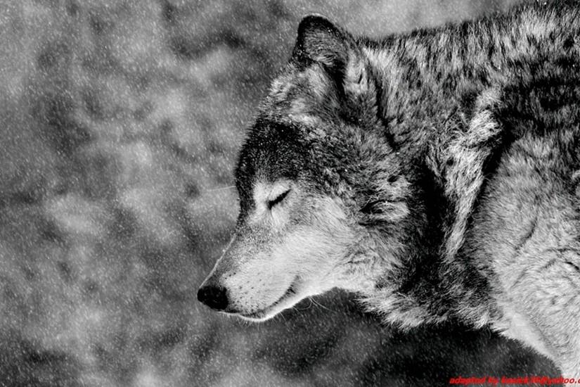 free wolf backgrounds 2560x1600 for ipad