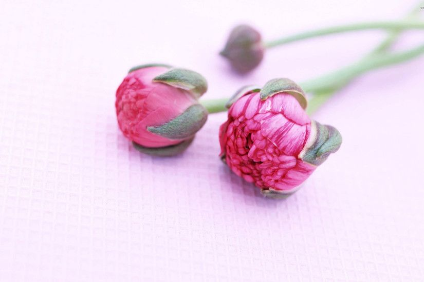 Peonies wallpaper - Flower wallpapers - #10642