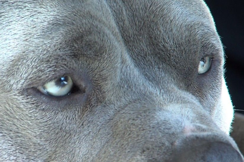 Pitbull dog eyes .