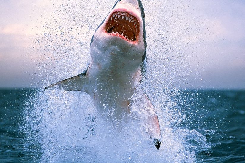 Shark Megalodon Images Gallery