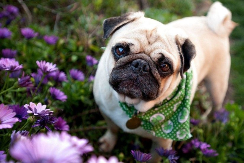 66 Pug Wallpapers | Pug Backgrounds
