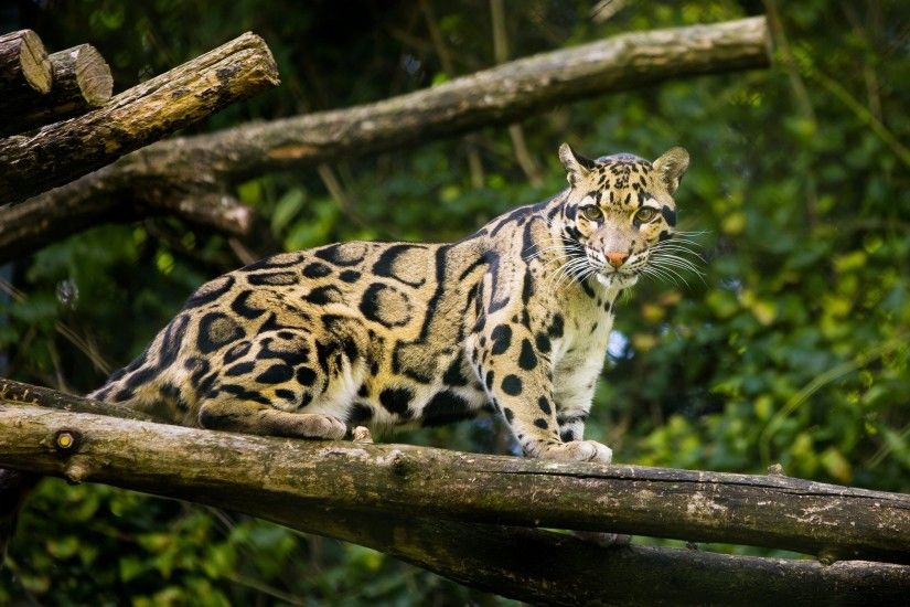 Clouded leopard wallpaper - photo#21
