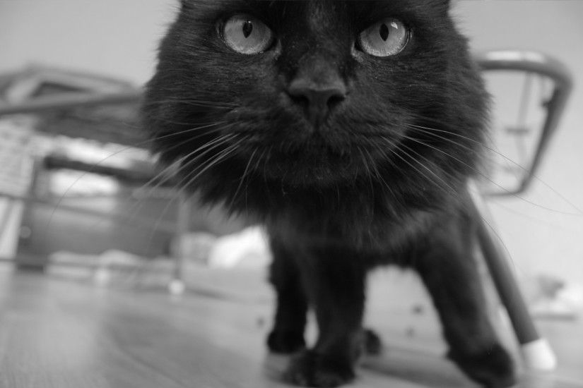 Black & White Cat wallpapers and stock photos