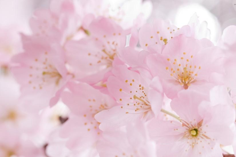 cherry blossom wallpaper 2560x1600 for android