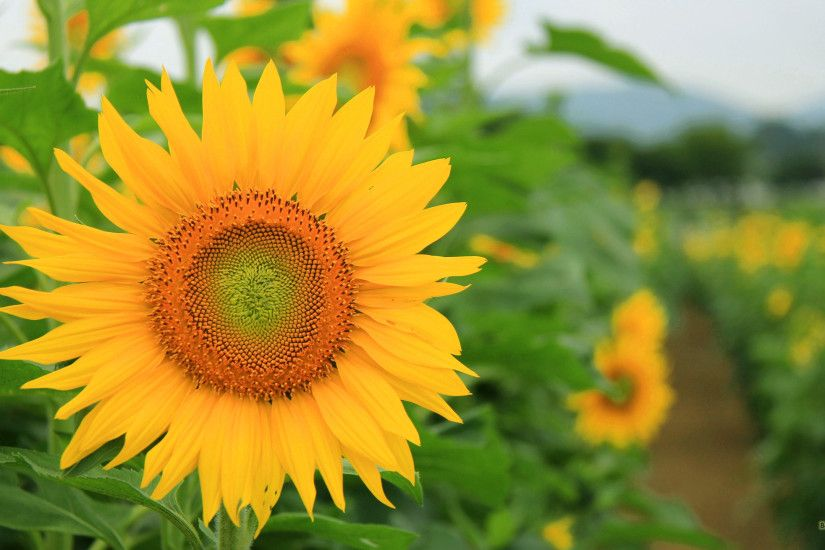 HD wallpaper with sunflower in a sunflower field.