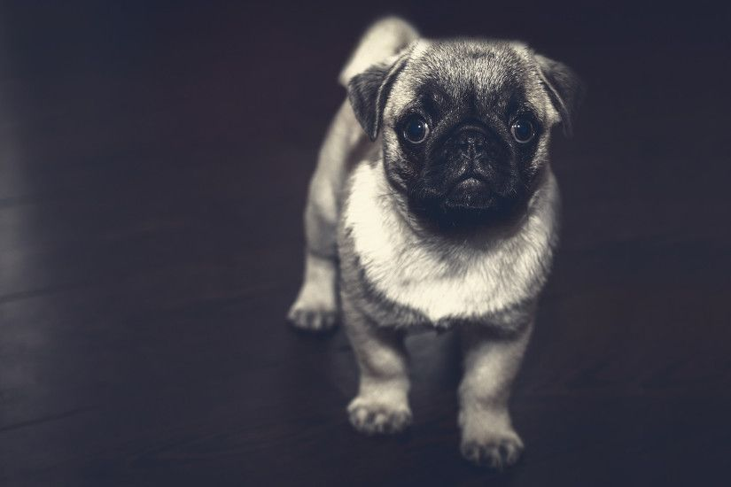 Pug Puppy Laptop Background .