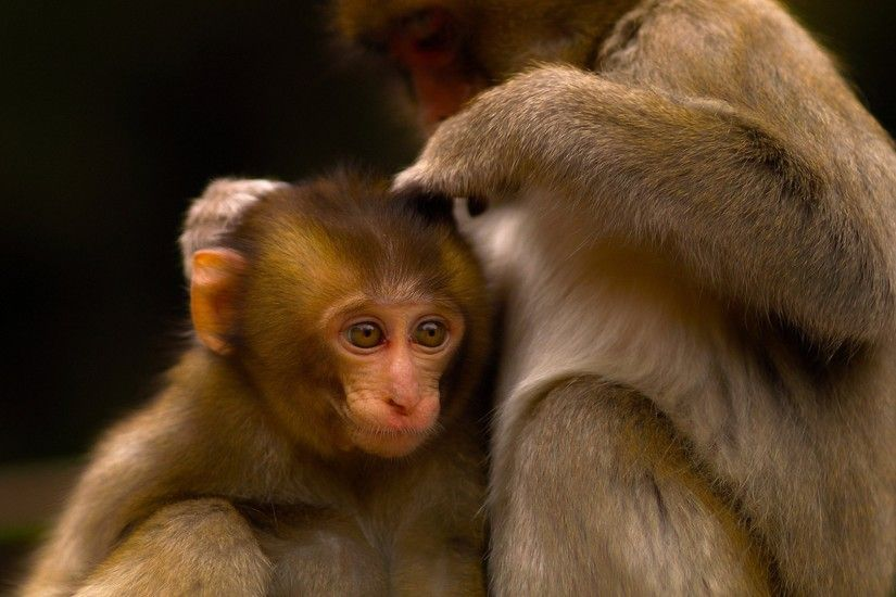 3840x2160 Wallpaper monkey, couple, care, baby