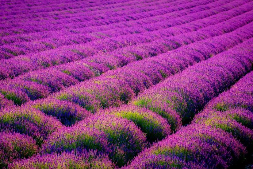 lavender wallpaper 1920x1200 high resolution