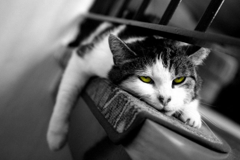 Cat Black And White Hd Widescreen Desktop Wallpaper