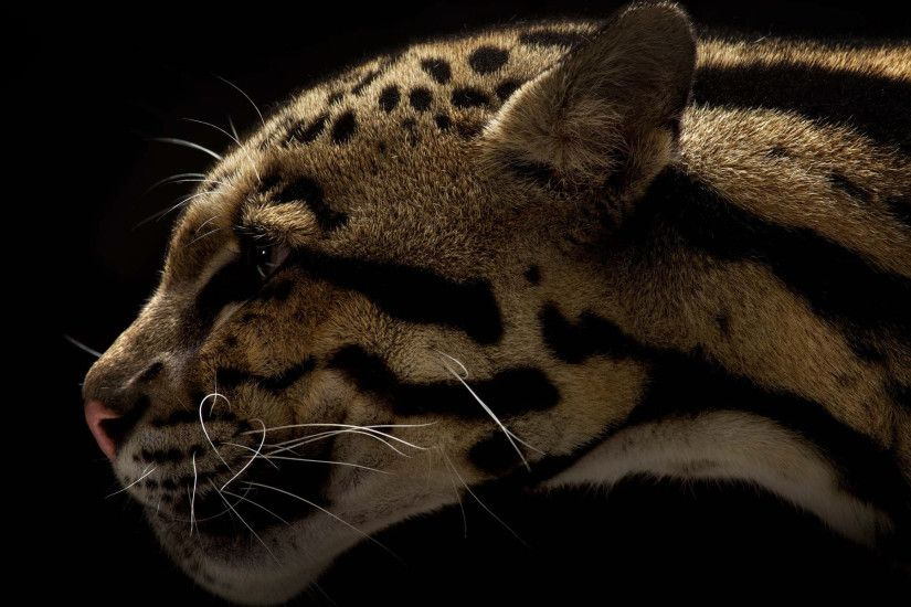 Animal - Clouded Leopard Wallpaper