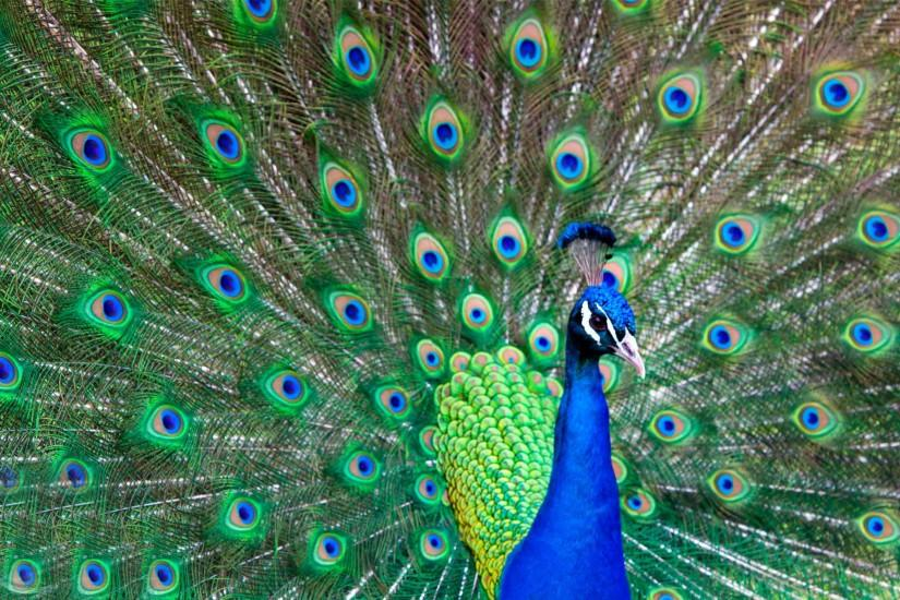 Beautiful peacock feather bird images free.