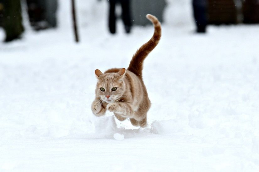 running orange Tabby cat on snow, wild cat