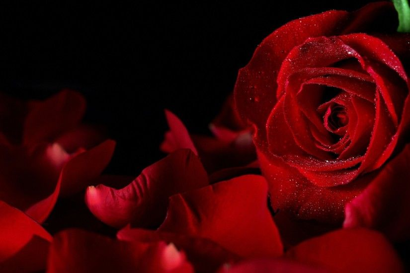 sweet red rose HD backgrounds