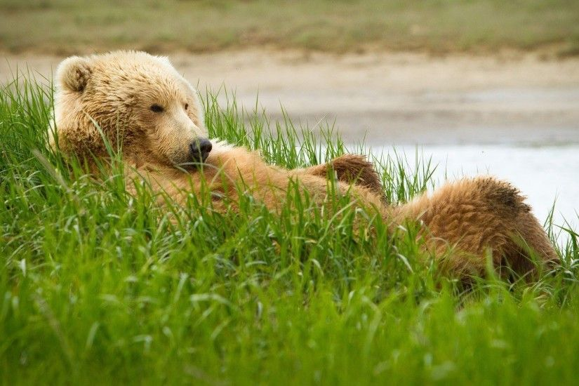 Brown bear chilling in the grass wallpaper