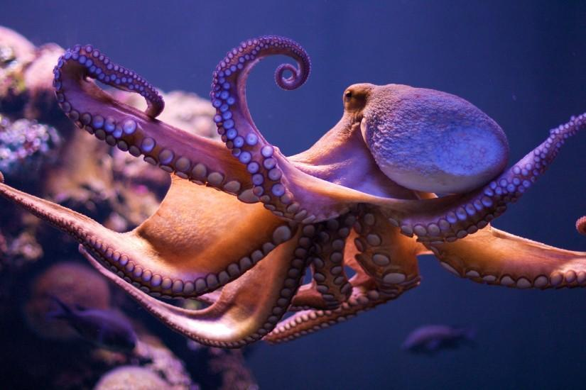 Octopus Wallpaper