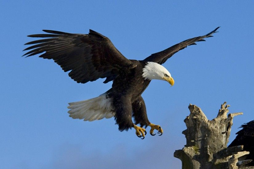 HD Eagle Bird Wallpapers