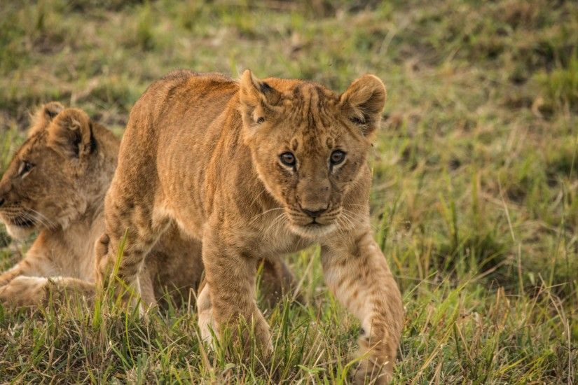 Wallpaper: The Lion Cubs of Serengeti. Ultra HD 4K 3840x2160
