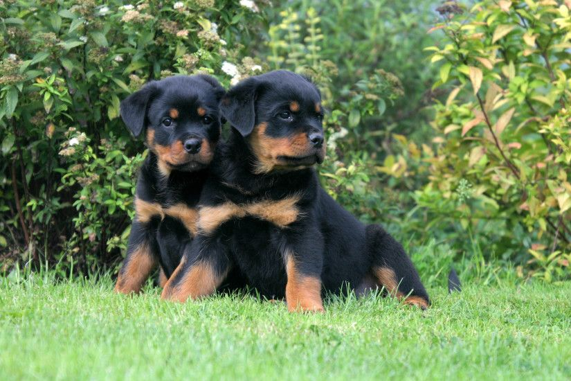 Animal - Rottweiler Dog Puppy Wallpaper