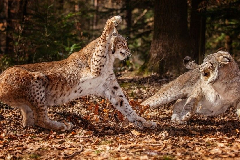animals fight lynx wild cat wallpaper (#2795987) / Wallbase.cc