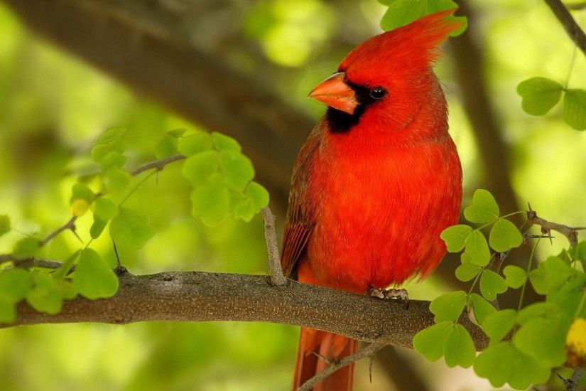 Red Bird HD 1080p Wallpapers Download