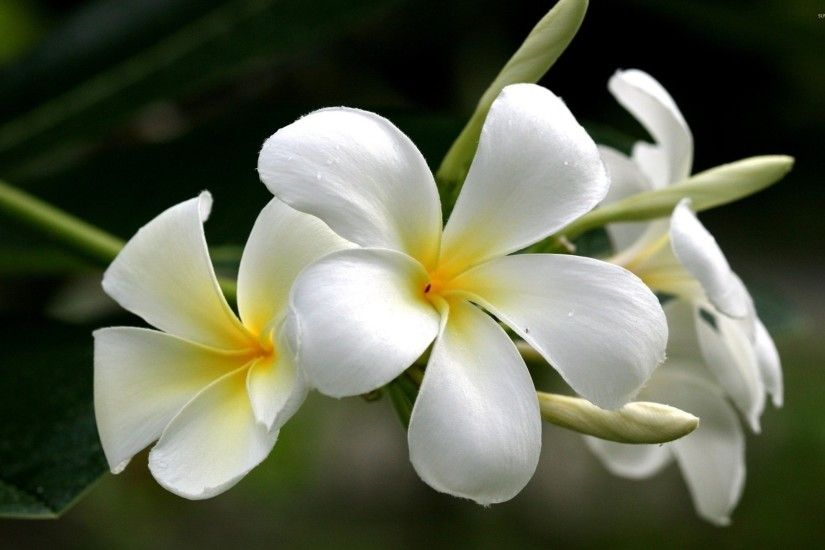 White plumeria wallpaper