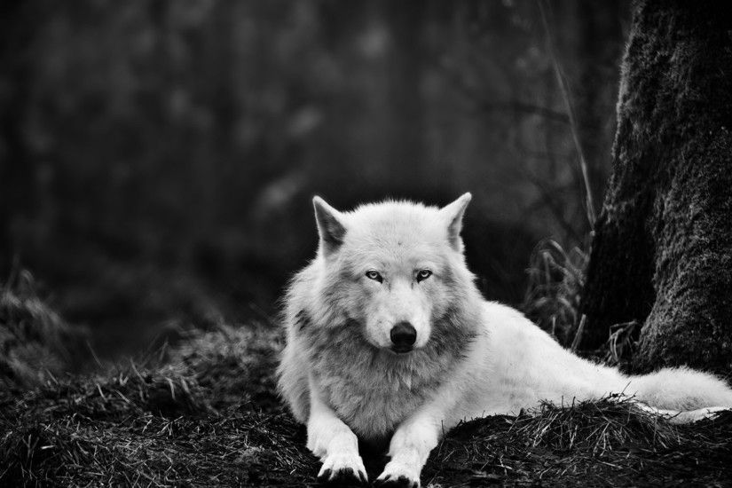 White wolf in the black forest