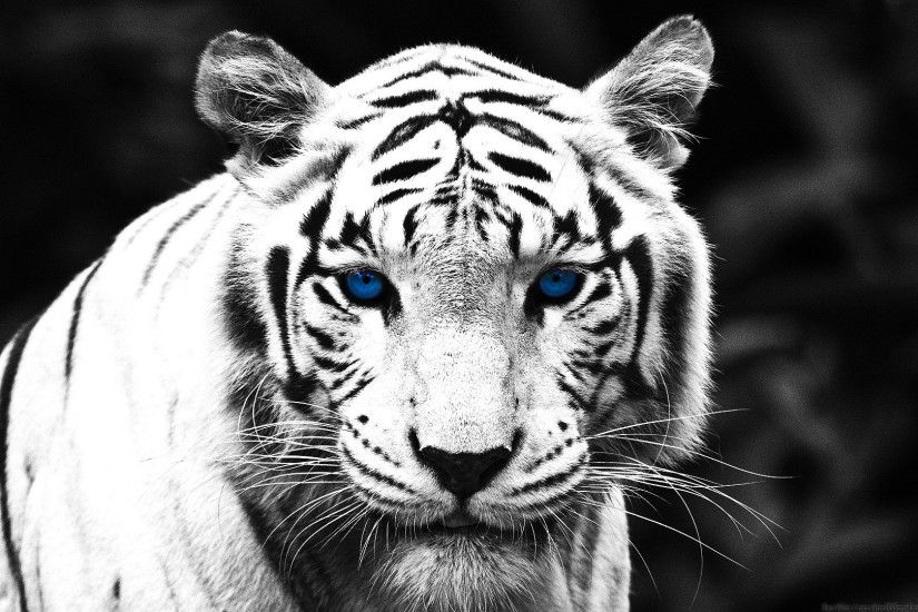 White Tiger Wallpaper 1920x1080 Really good wallpapers!