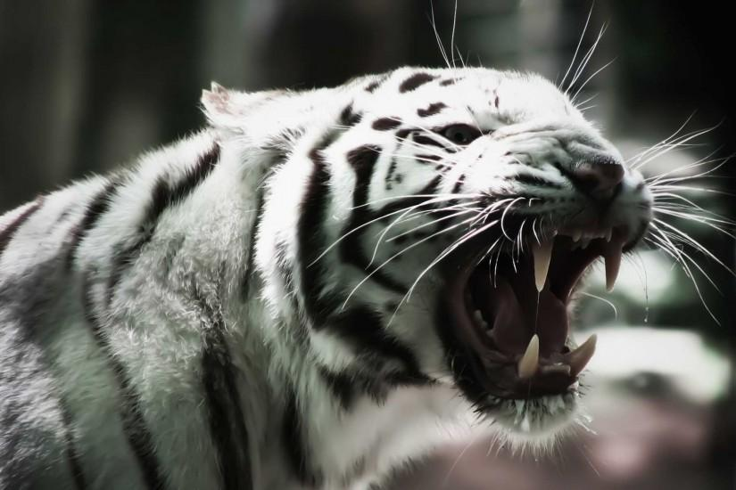 Most Downloaded Angry Tiger Wallpapers - Full HD wallpaper search