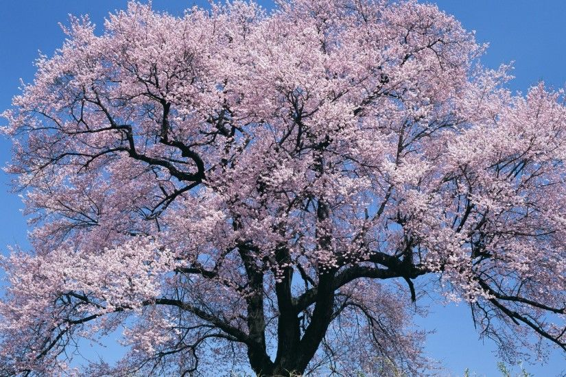 Japan Big Cherry Blossom Tree. Japan Big Cherry Blossom Tree Desktop  Background