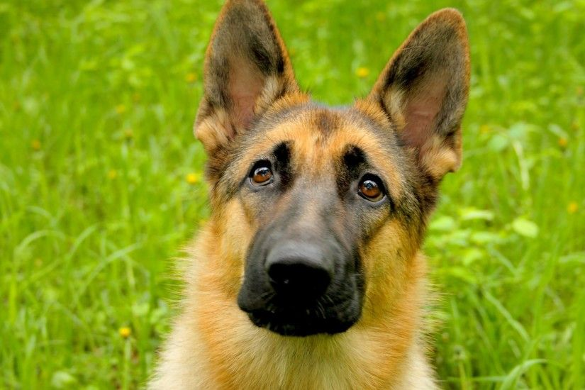 German Shepherds sport a double coat. The outer coat, which sheds all year  round, is close and dense with a thick undercoat. The coat is accepted in  two ...