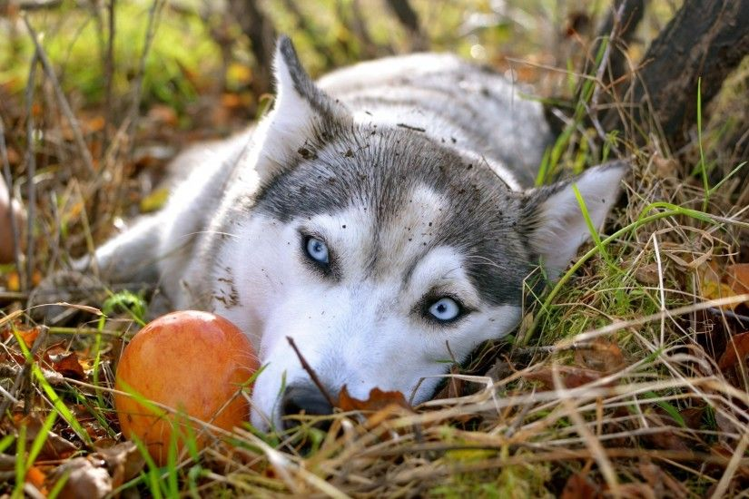 autumn apple siberian husky wallpaper sad eyes